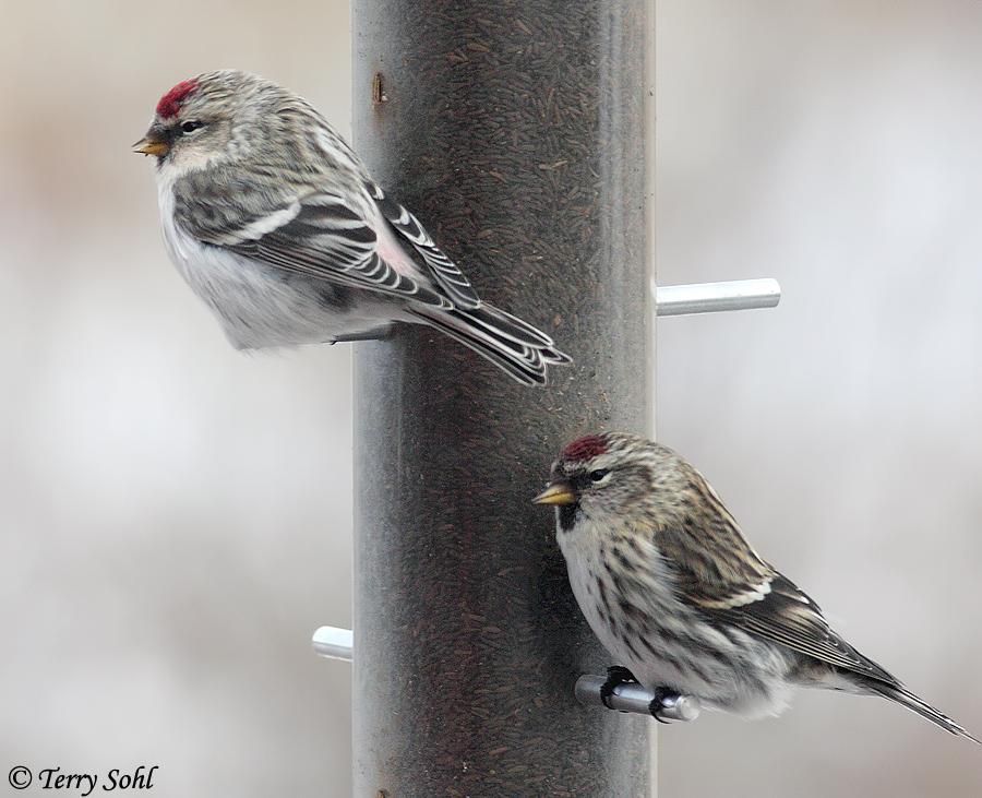 Common Redpoll coloring #18, Download drawings