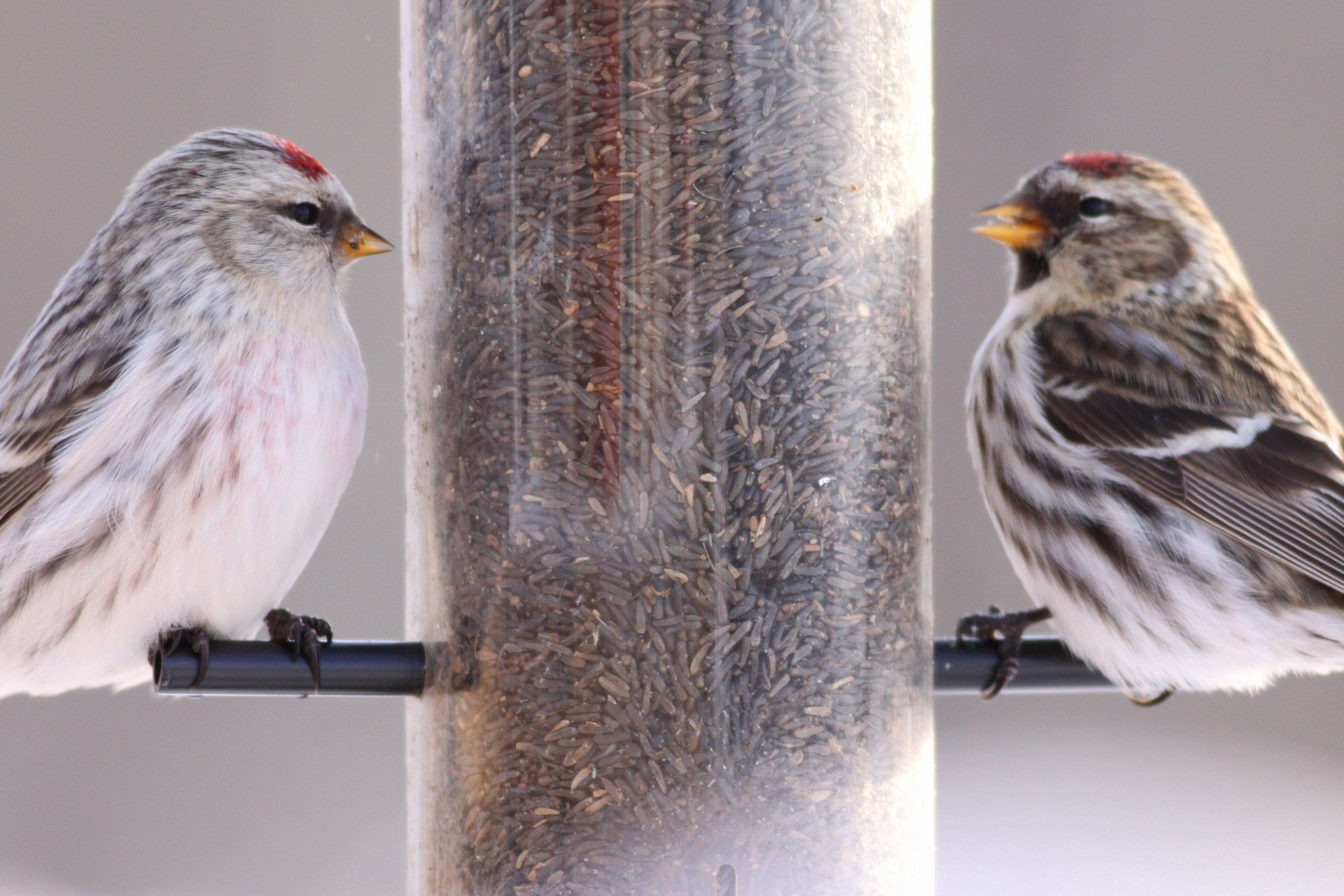 Common Redpoll coloring #16, Download drawings
