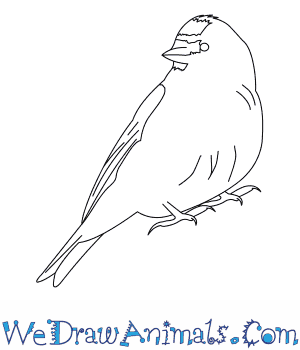 Common Redpoll coloring #1, Download drawings