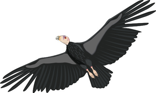Condor clipart #18, Download drawings