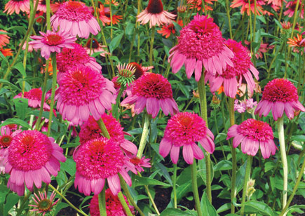Cone Flower coloring #4, Download drawings