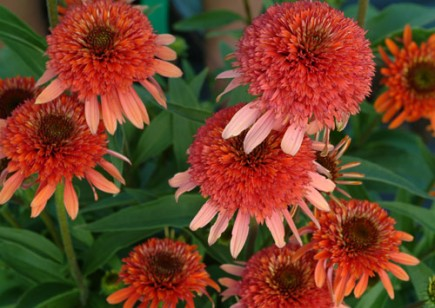 Cone Flower coloring #14, Download drawings