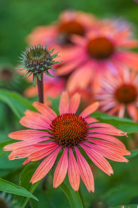 Cone Flower coloring #9, Download drawings