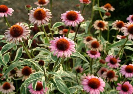 Cone Flower coloring #3, Download drawings