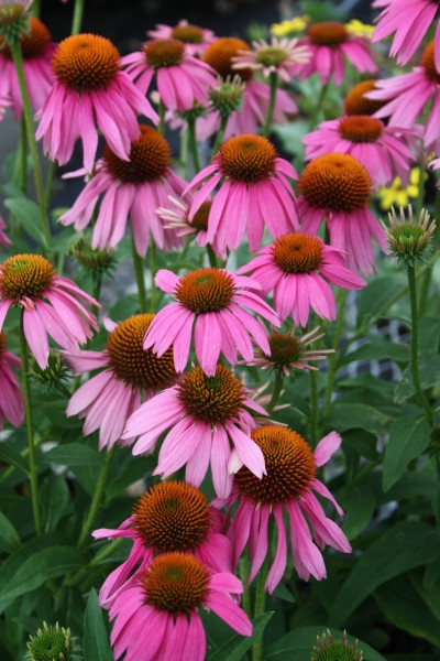 Cone Flower coloring #20, Download drawings