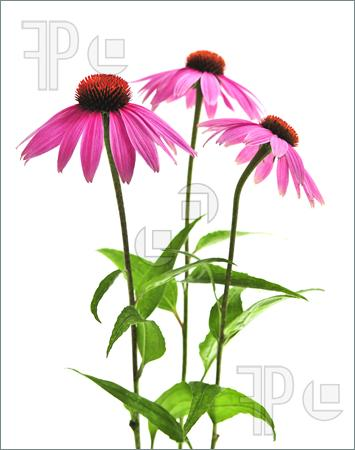 Coneflower clipart #14, Download drawings