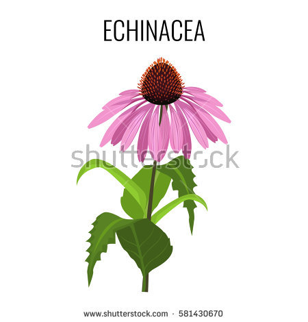 Coneflower clipart #8, Download drawings