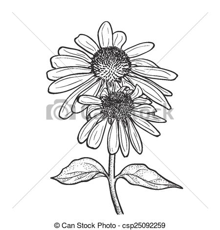 Coneflower clipart #4, Download drawings