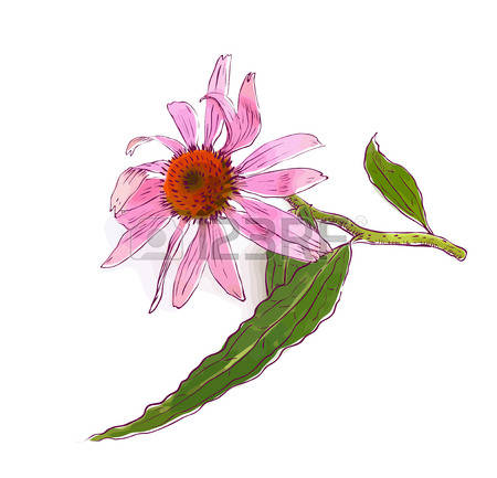 Coneflower clipart #13, Download drawings