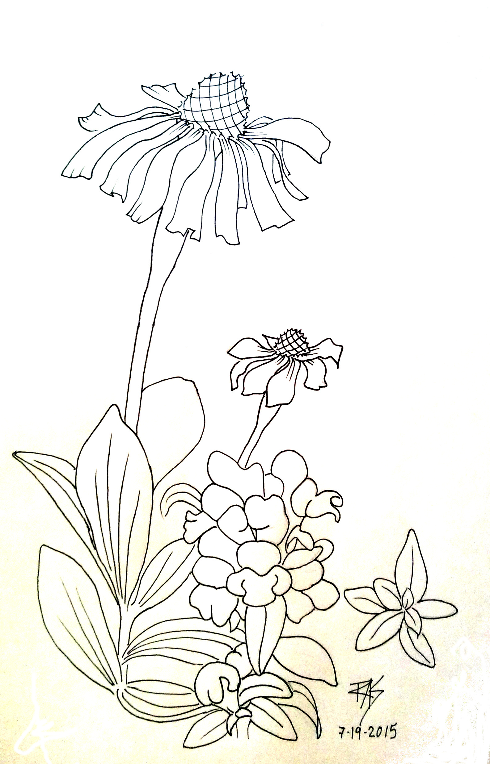 Coneflower coloring #5, Download drawings