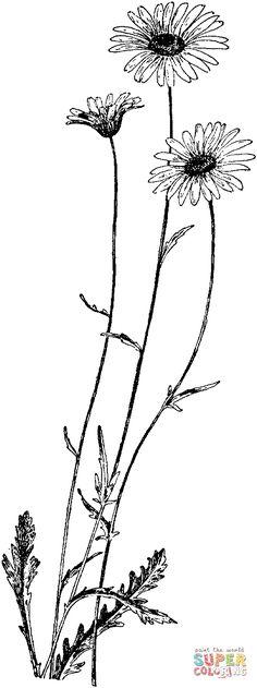 Coneflower coloring #3, Download drawings