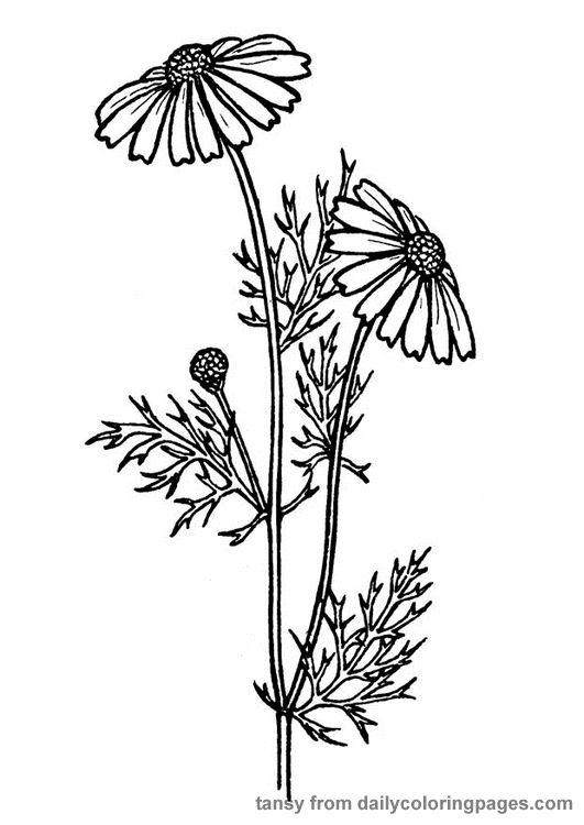 Coneflower coloring #16, Download drawings
