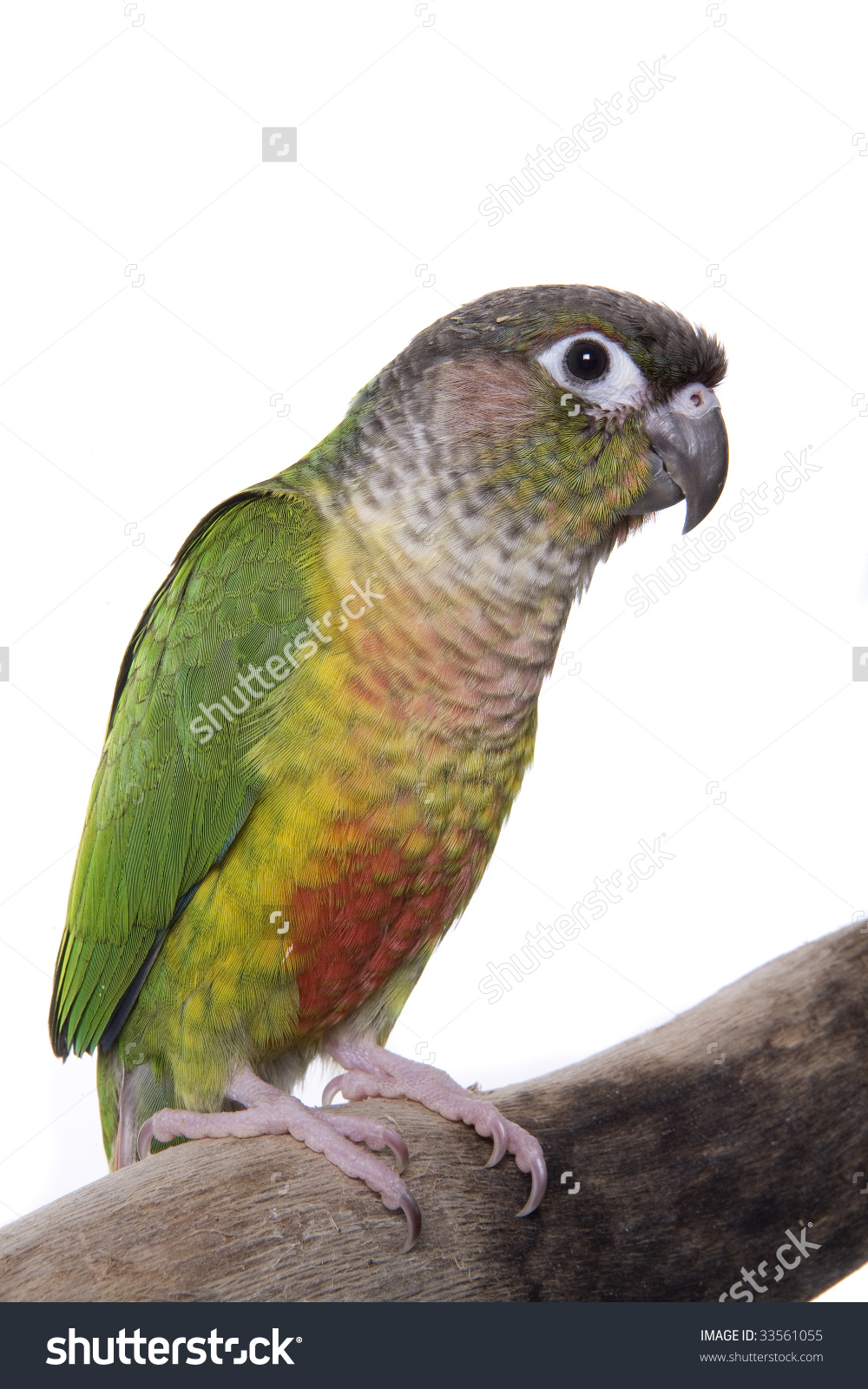 Conure clipart #1, Download drawings