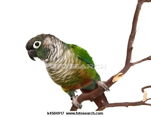 Conure clipart #3, Download drawings