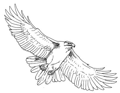 Harris's Hawk clipart #9, Download drawings