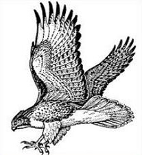 Cooper's Hawk clipart #7, Download drawings