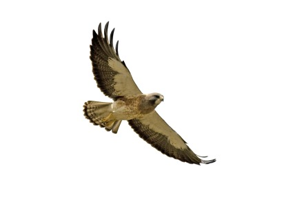 Red-tailed Hawk clipart #1, Download drawings