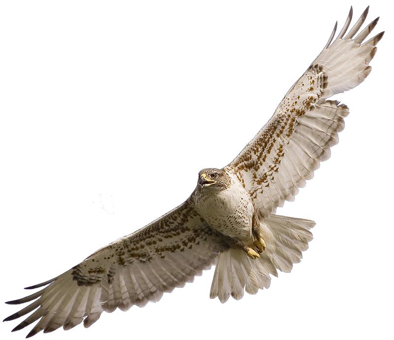 Cooper's Hawk clipart #3, Download drawings