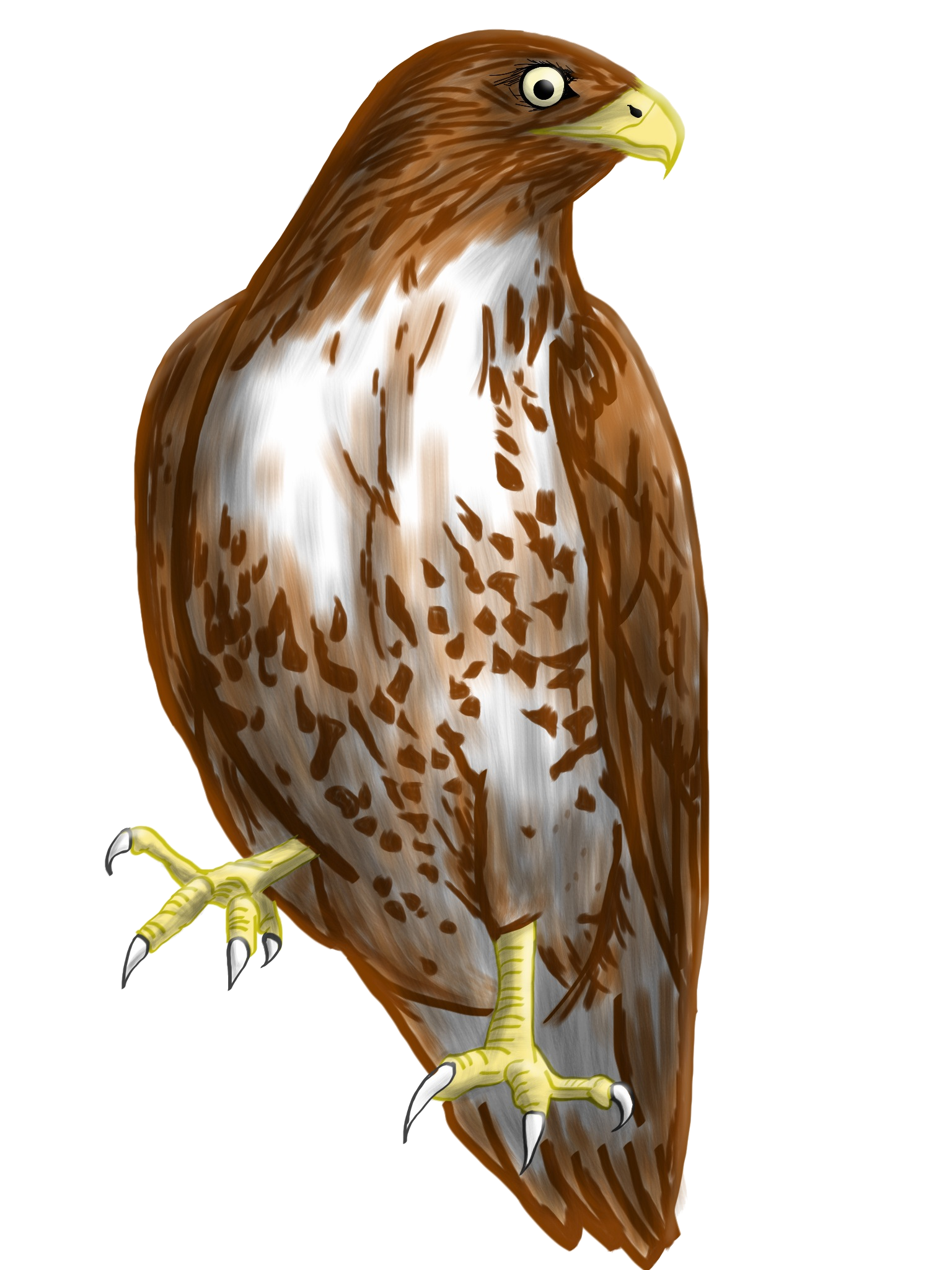 Cooper's Hawk clipart #10, Download drawings