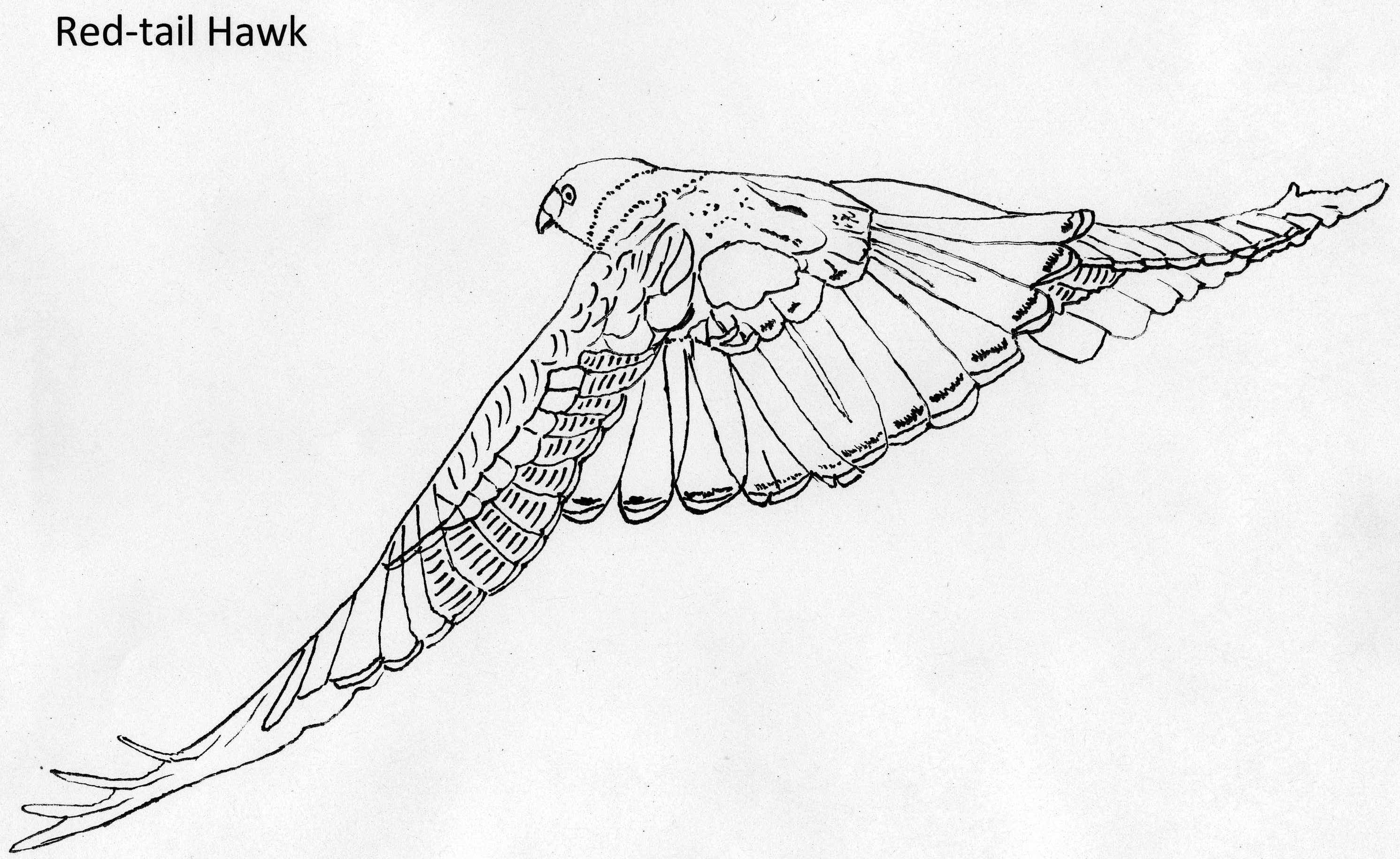 Cooper's Hawk coloring #1, Download drawings