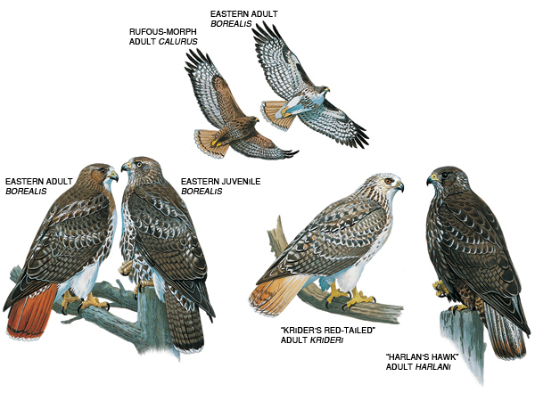 Cooper's Hawk coloring #7, Download drawings