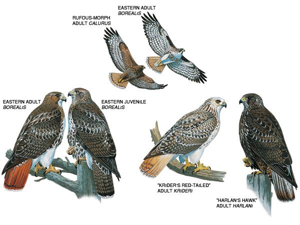 Cooper's Hawk coloring #14, Download drawings