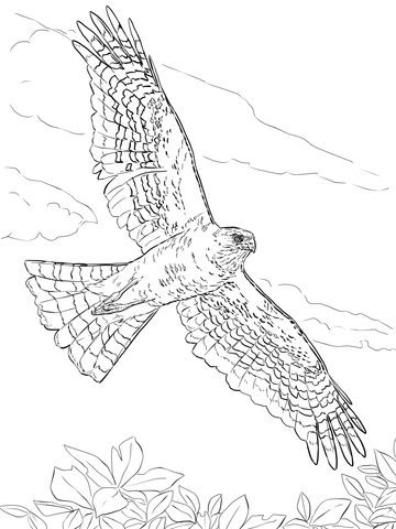 Cooper's Hawk coloring #12, Download drawings