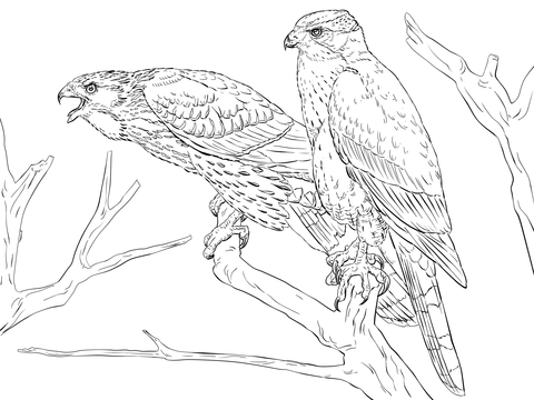 Cooper's Hawk coloring #13, Download drawings