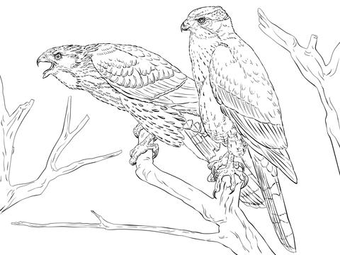 Cooper's Hawk coloring #8, Download drawings