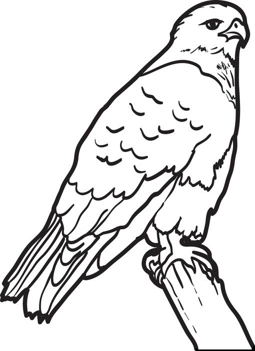 Cooper's Hawk coloring #3, Download drawings