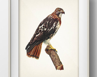 Red-tailed Hawk svg #14, Download drawings