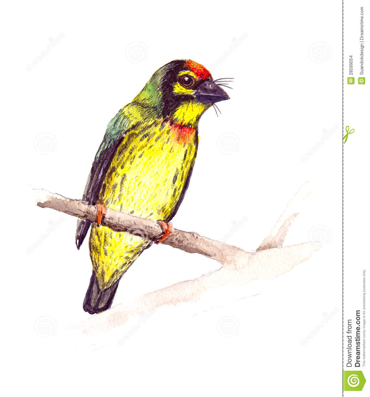 Coppersmith Barbet clipart #19, Download drawings