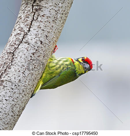 Coppersmith Barbet clipart #12, Download drawings