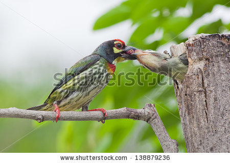 Coppersmith Barbet clipart #10, Download drawings