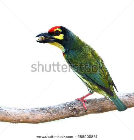 Coppersmith Barbet clipart #1, Download drawings