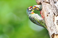Coppersmith Barbet clipart #11, Download drawings