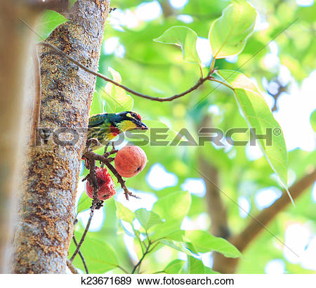 Coppersmith Barbet clipart #6, Download drawings