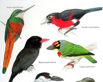 Coppersmith Barbet clipart #5, Download drawings
