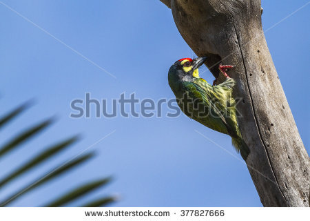 Coppersmith Barbet clipart #3, Download drawings