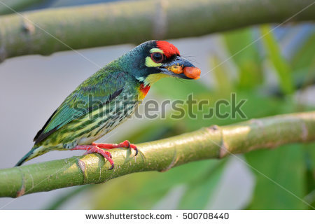 Coppersmith Barbet clipart #4, Download drawings