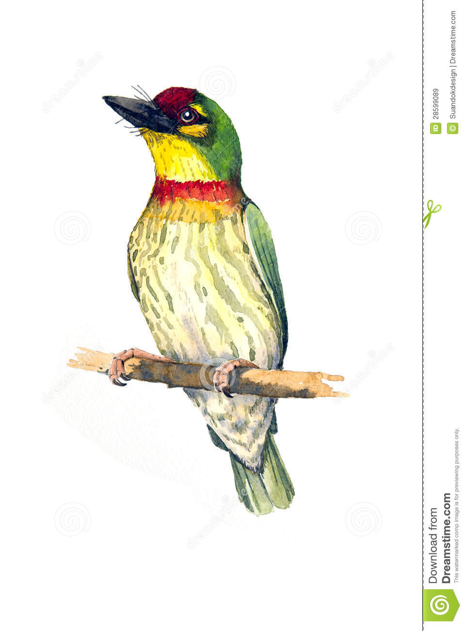 Coppersmith Barbet clipart #18, Download drawings