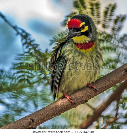 Coppersmith Barbet clipart #2, Download drawings