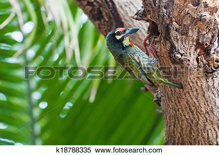 Large Green Barbet clipart #15, Download drawings