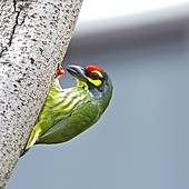 Coppersmith Barbet clipart #20, Download drawings