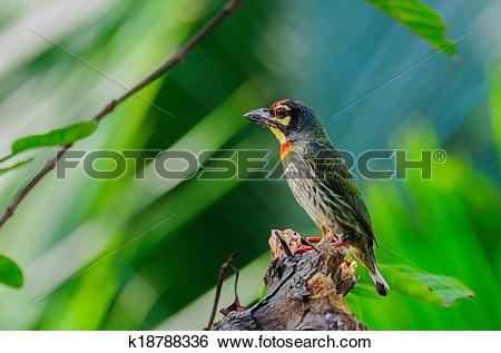 Large Green Barbet clipart #13, Download drawings