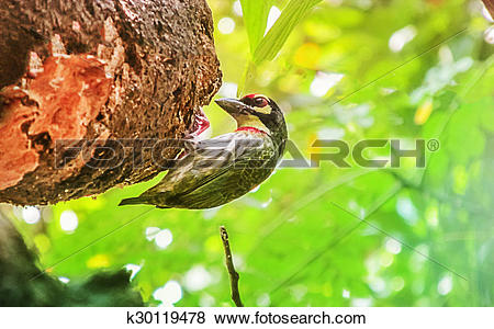 Large Green Barbet clipart #14, Download drawings