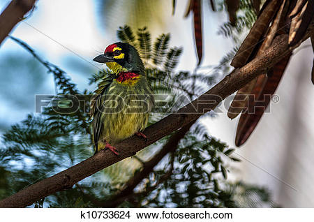 Coppersmith Barbet clipart #14, Download drawings