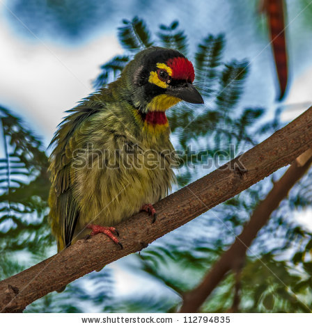 Coppersmith Barbet clipart #7, Download drawings