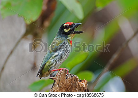 Coppersmith Barbet clipart #13, Download drawings