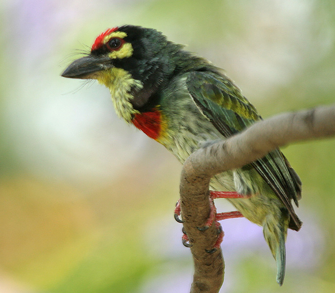 Coppersmith Barbet coloring #14, Download drawings